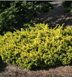 nana aurescens iseli nursery