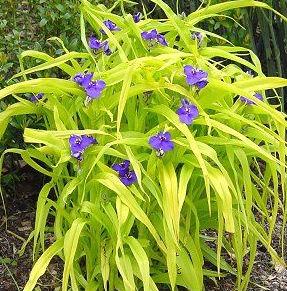 spiderwort sweet kate