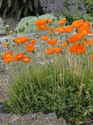 waltersgardens-lo8369-papaver-summer-breeze-series-orange