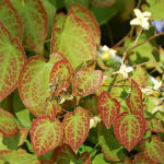 Epimedium white flower farm