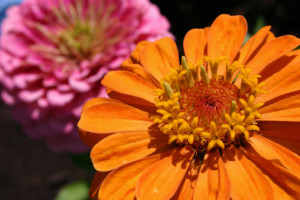 zinnias_orange_pink_morgue