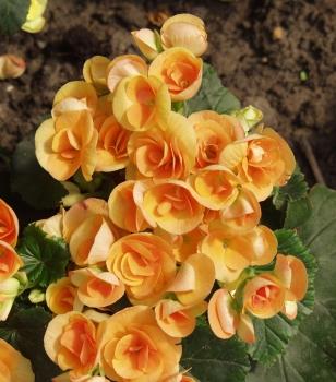 begoniaplantmorgue