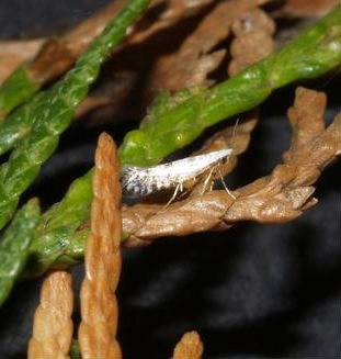 leaf miner mothlike