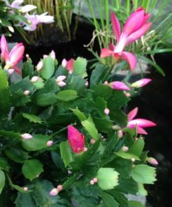 cactushotpink
