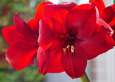 How to Force Paperwhites & Amaryllis