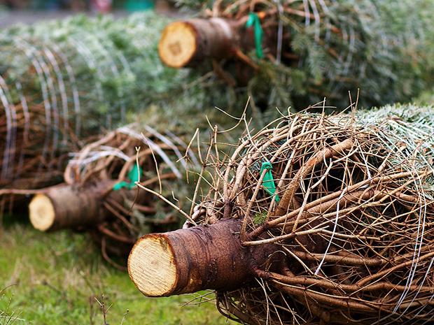 Cut Christmas Tree Care