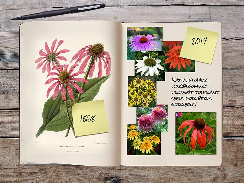 Garden Notebook – The Echinacea Explosion!