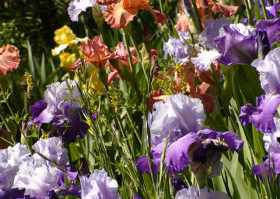 Dividing Irises & Daylilies