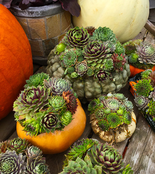 Succulent Harvest Pumpkins for Fall