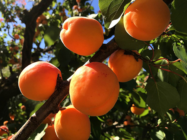 Fruit tree Planting & Care Tips