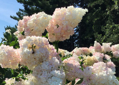 Pruning Smooth & Panicle Hydrangeas