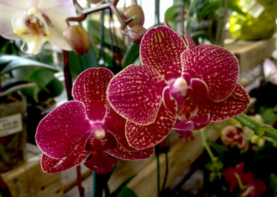 Orchid Phalaenopsis Care